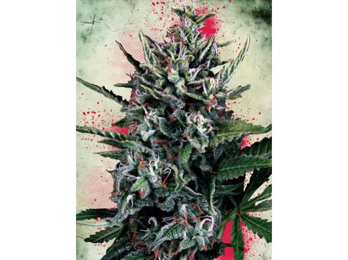 Silver Bullet Auto | Ministry of Cannabis