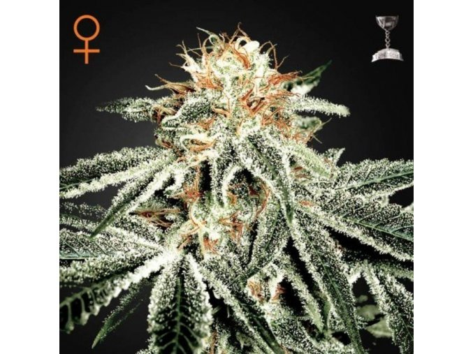 greenhouse seeds white widow feminized