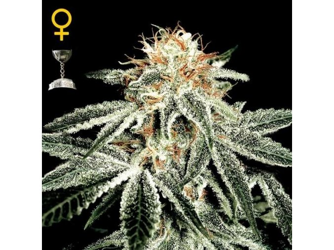 White Rhino  | Green House Seeds