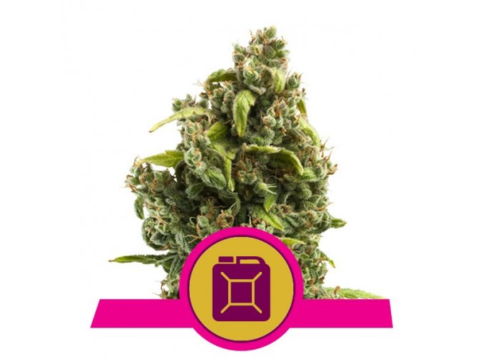 Sour Diesel  | Royal Queen Seeds