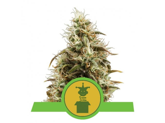 Royal Jack Auto    Royal Queen Seeds