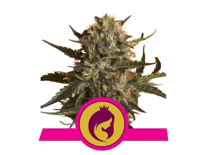 Royal Madre  | Royal Queen Seeds