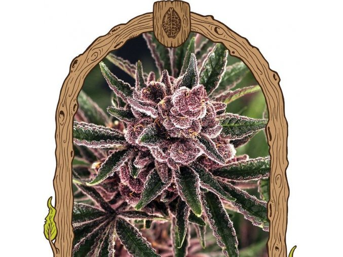 exotic seed tropical fuel feminized