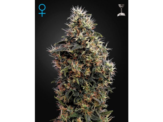 Sweet Mango Automatic | Green House Seeds
