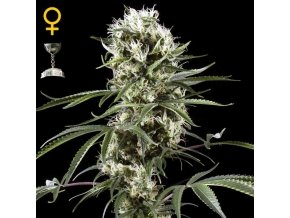 Super Lemon Haze | Green House Seeds