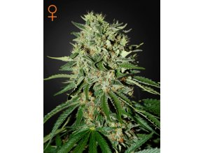 The Doctor | Green House Seeds