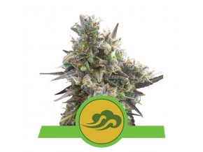 Royal Bluematic Auto  | Royal Queen Seeds