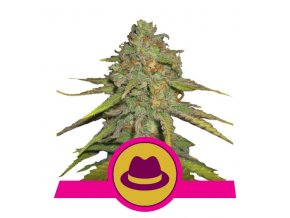 O.G. Kush | Royal Queen Seeds