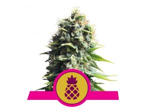 Pineapple Kush  | Royal Queen Seeds