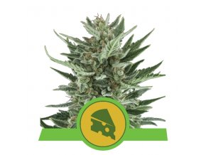 Royal Cheese Automatic | Royal Queen Seeds