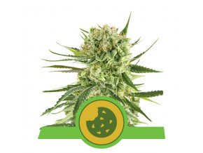 Royal Cookies Automatic | Royal Queen Seeds