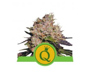 purple queen automatic