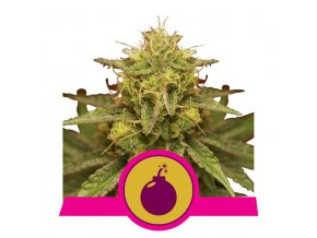 Royal Domina | Royal Queen Seeds