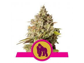 Royal Gorilla | Royal Queen Seeds