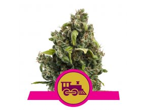Candy Kush Express Fast Version | Royal Queen Seeds