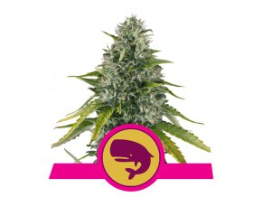 Royal Moby | Royal Queen Seeds
