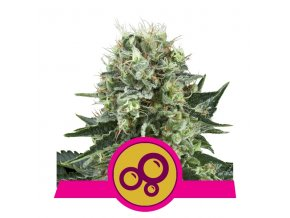 Bubble Kush | Royal Queen Seeds