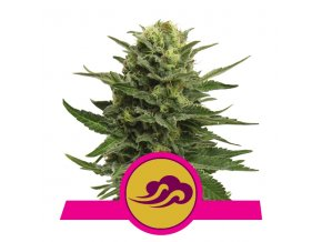 Blue Mystic | Royal Queen Seeds