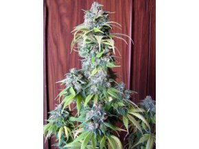 Blueberry | Seedsman