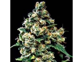 Jack Herer | Green House Seeds