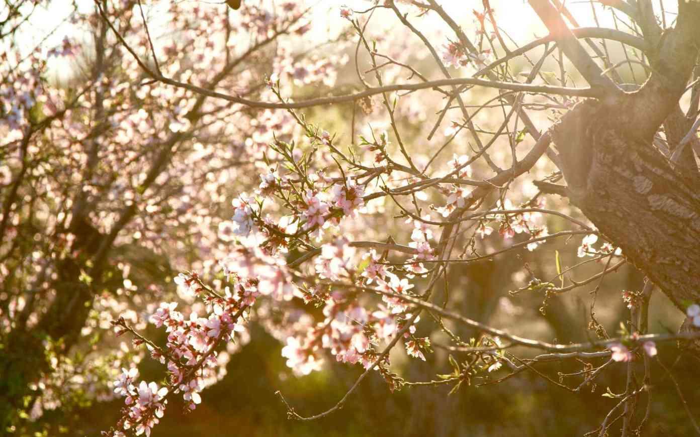 Dívej, kvetou mandloně