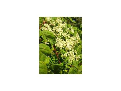 Arália mandžurská bio výťažok 50 ml