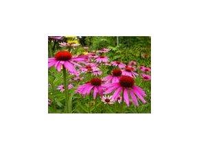echinacea purpurová bio výtazok 50 ml shopherba.png
