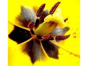 hnědý pyl
