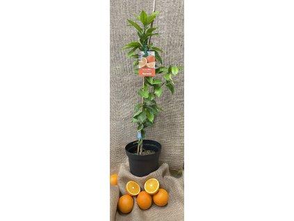 Stromek Pomerančovník