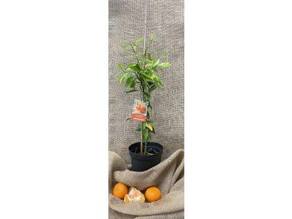 Stromek Mandarinkovník