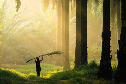 Palmový olej a jeho dosah na životné prostredie