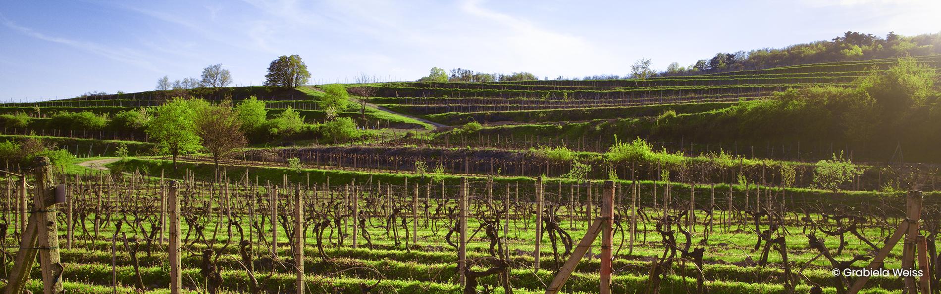 Vinohrady Modra