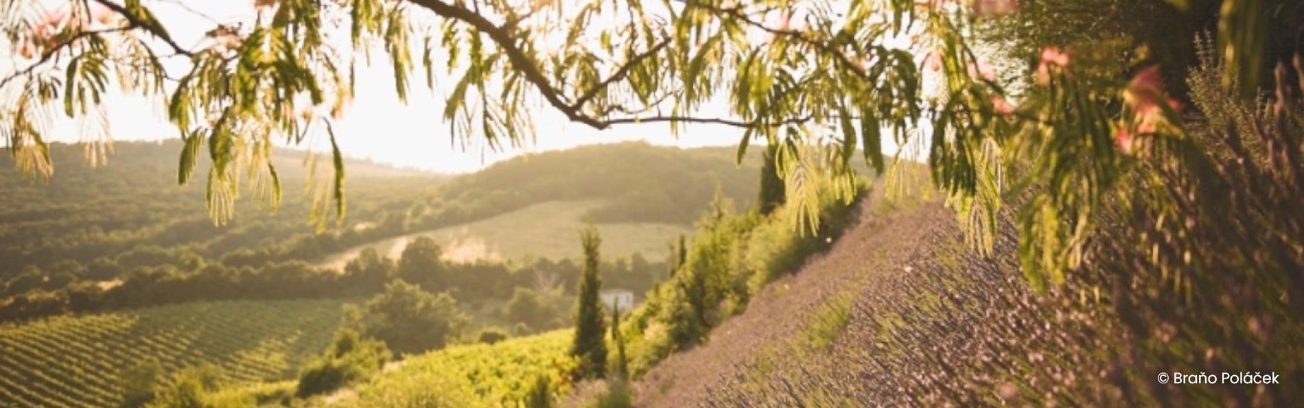 Pezinské vinohrady