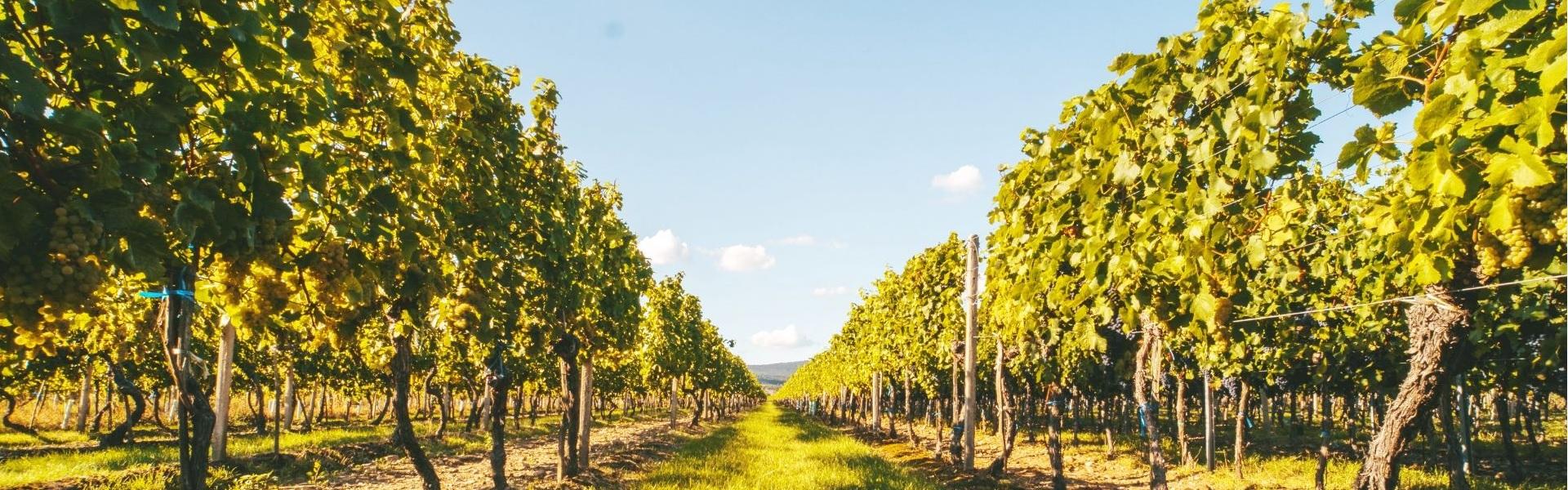 Víno Skovajsa - vinohrady