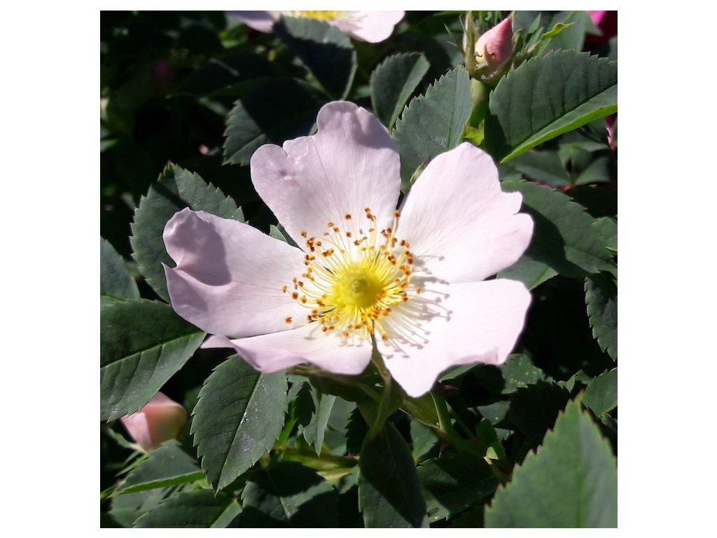 Ruze kvet