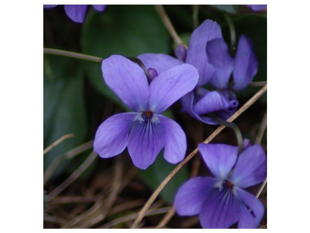 Esence z violky vonné