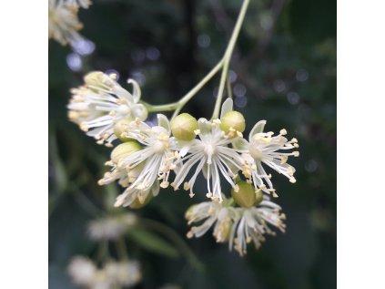 Lipa kvet