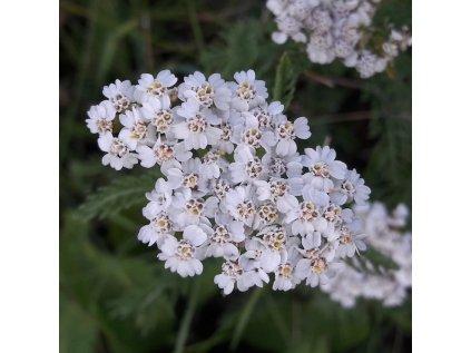 Rebricek detail kvetu