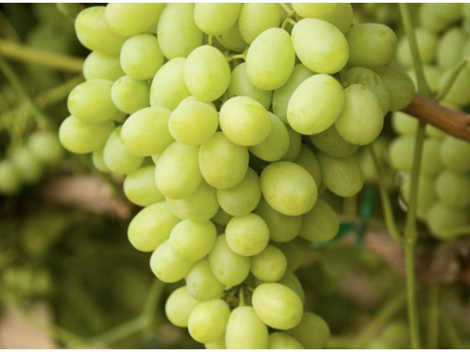 hroznove vino bile melissa