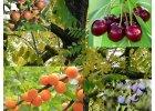 Ovocné štěpky