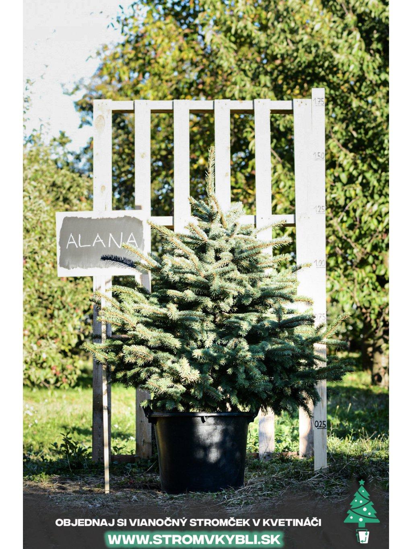 Vianocny stromcek v kvetinaci stromvkybli Alana