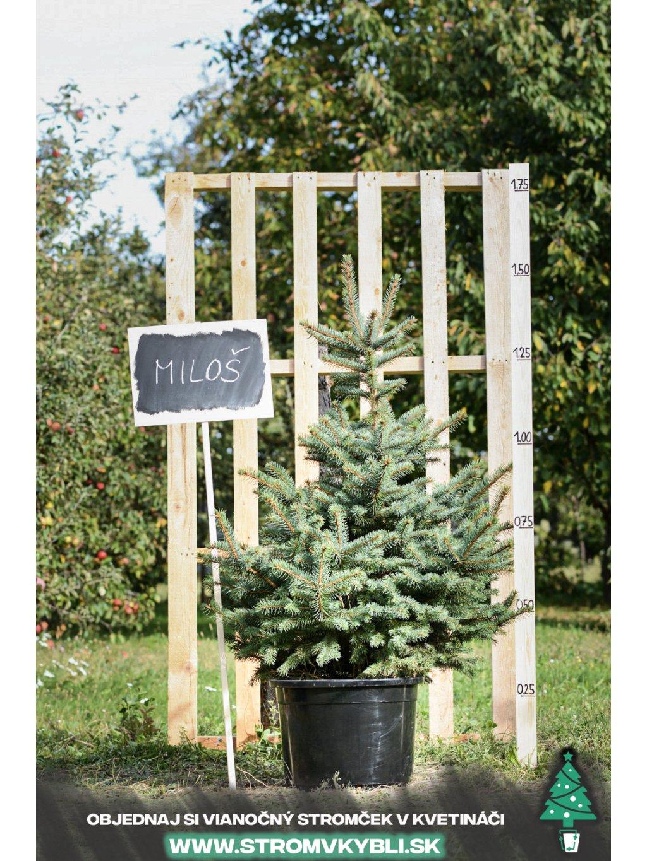 Vianocny stromcek v kvetinaci stromvkybli Milos 9289 3 2 3 3