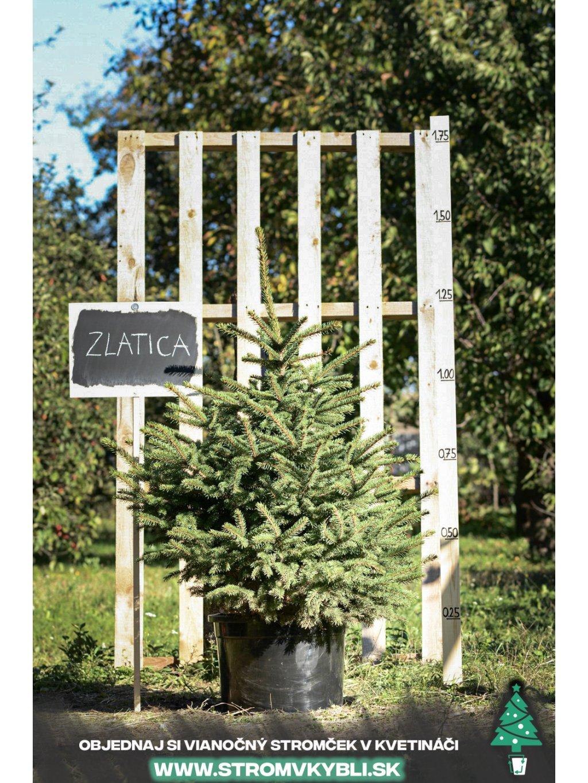 Vianocny stromcek v kvetinaci stromvkybli Zlatica 9559 3 2 3 3