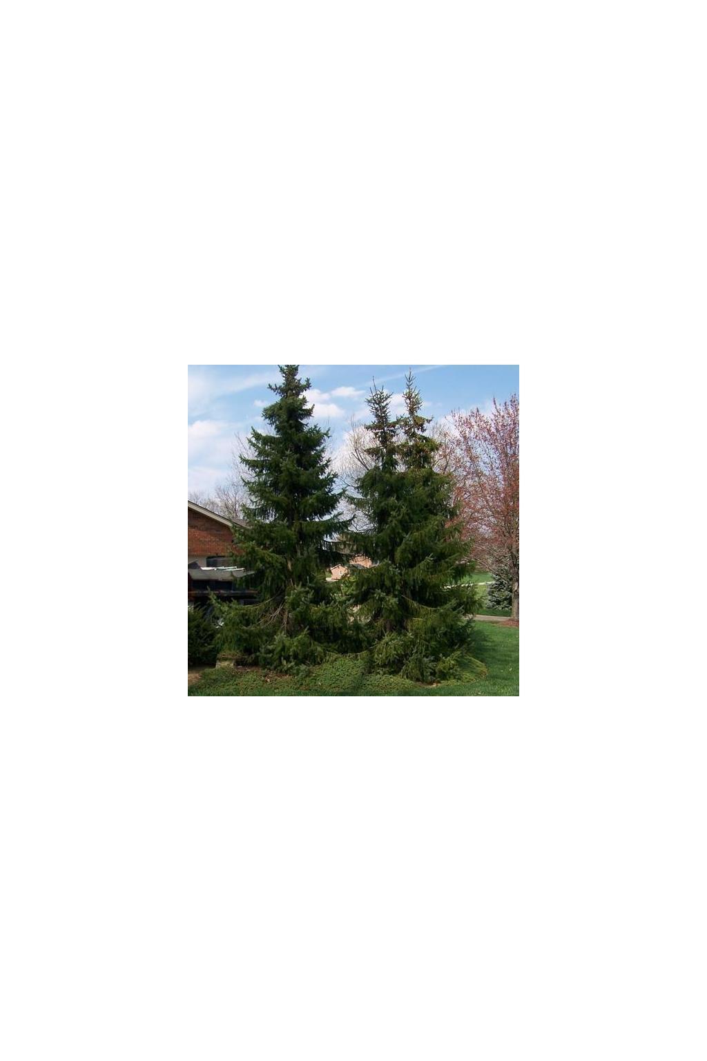 Picea omorika grande