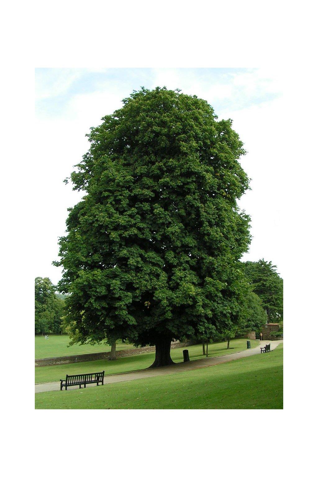Horse chestnut 800