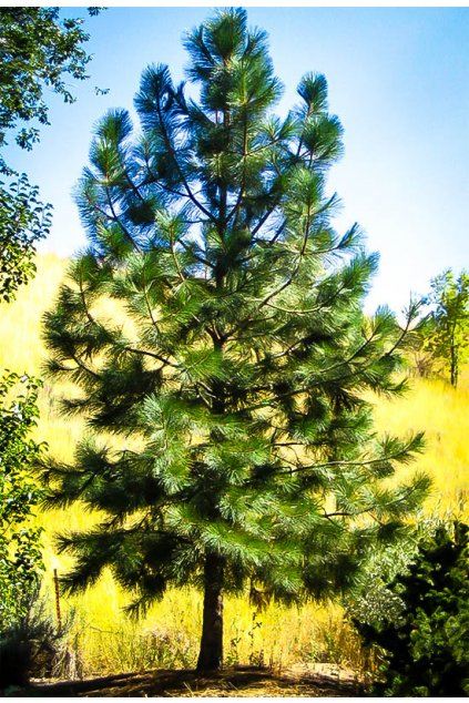 ponderosa pine 2