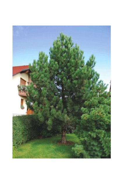 black pine pinus nigra select