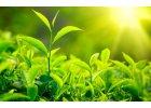 Vlasy s lupy- Therapeutic green tea