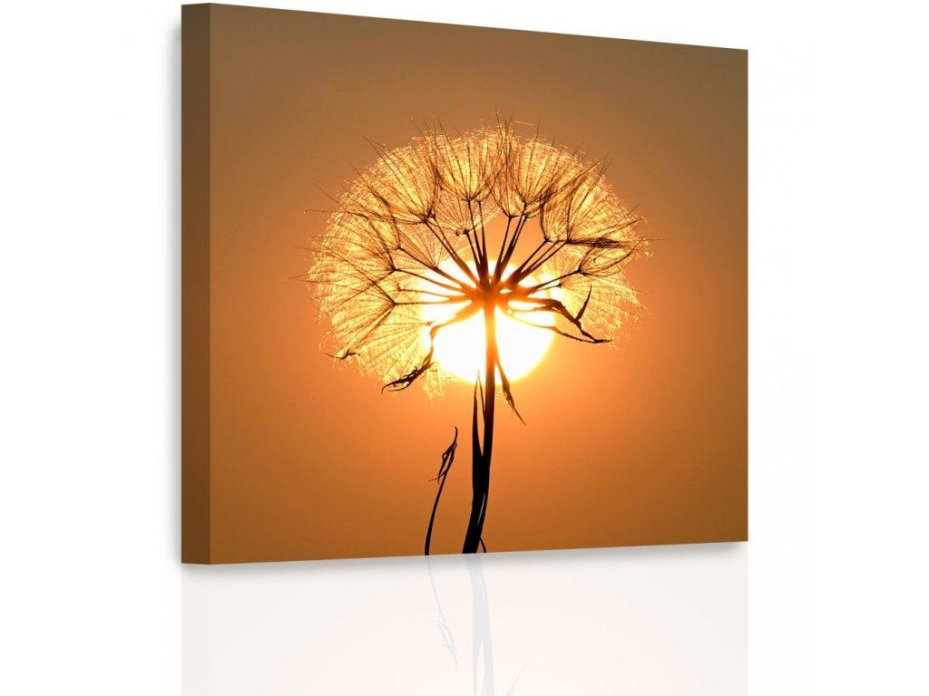 Obraz - Pampeliška při západu slunce (Velikost 50x50 cm)