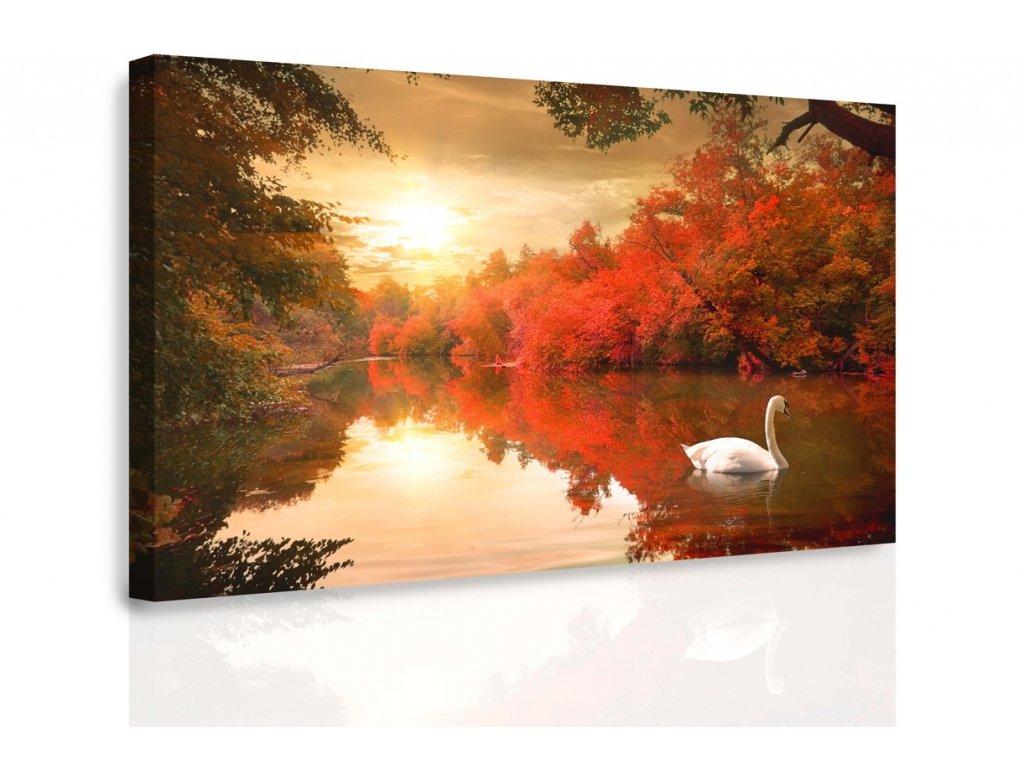 Obraz - Plující labuť (Velikost 120x80 cm)